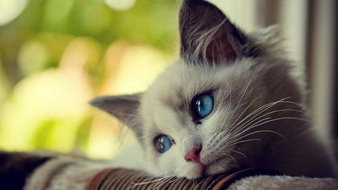 Innocent-Cute-Cat-Blue-Eyes