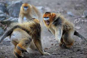 monkey-fighting