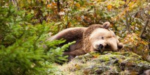 spyashhiy-medved